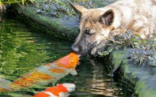 Можно ли собакам рыбу сырую, вареную, соленую?