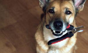 Можно ли собакам стричь когти и как правильно это делать?