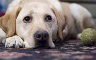 Лечение почек у собак