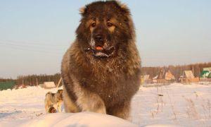 Собака кавказская овчарка характеристика породы