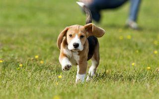 Когда можно гулять со щенком на улице