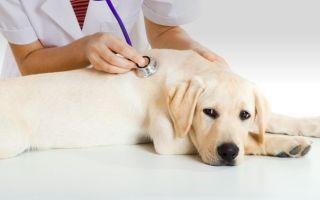 Можно ли стерилизовать собаку во время течки: за и против.