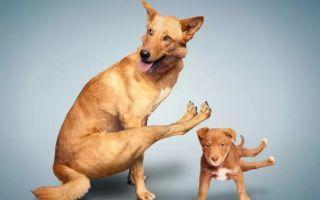 Дисплазия у собак
