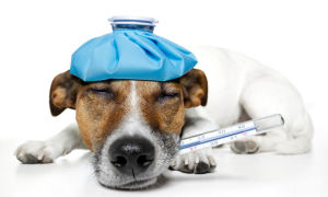 Температура у собаки, что можно сделать хозяину в домашних условиях
