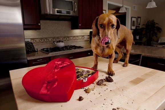 собака ест шоколадные конфеты