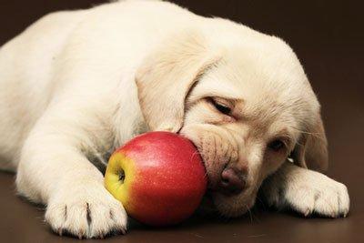 Собака ест яблоко