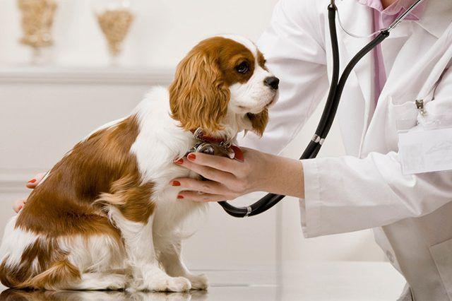 Собаку слушает ветеринар