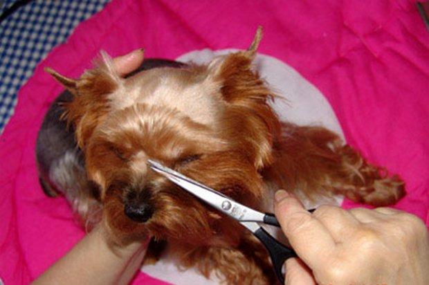 Собаке подстригают морду и усы
