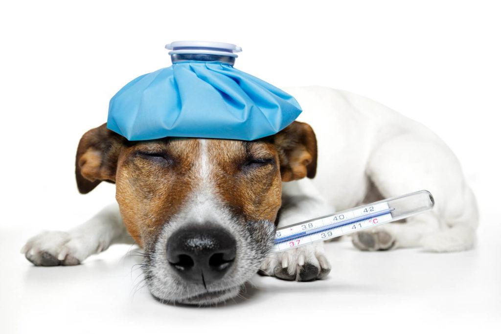 Температура у собаки, что можно сделать в домашних условиях