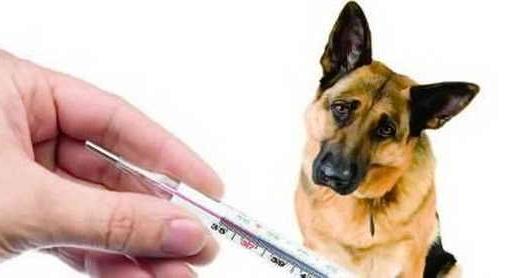 Какая температура является нормой для собаки