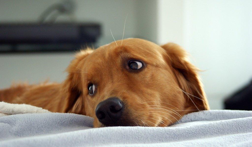 Грустная собака, нужно ли её стерилизовать