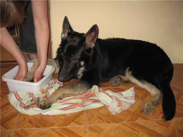 Собаке моют лапу после прогулки