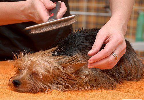 Щенку расчёсывают шерсть после купания
