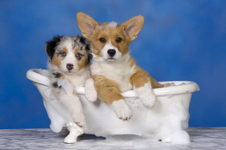 С какого возраста можно купать маленького щенка