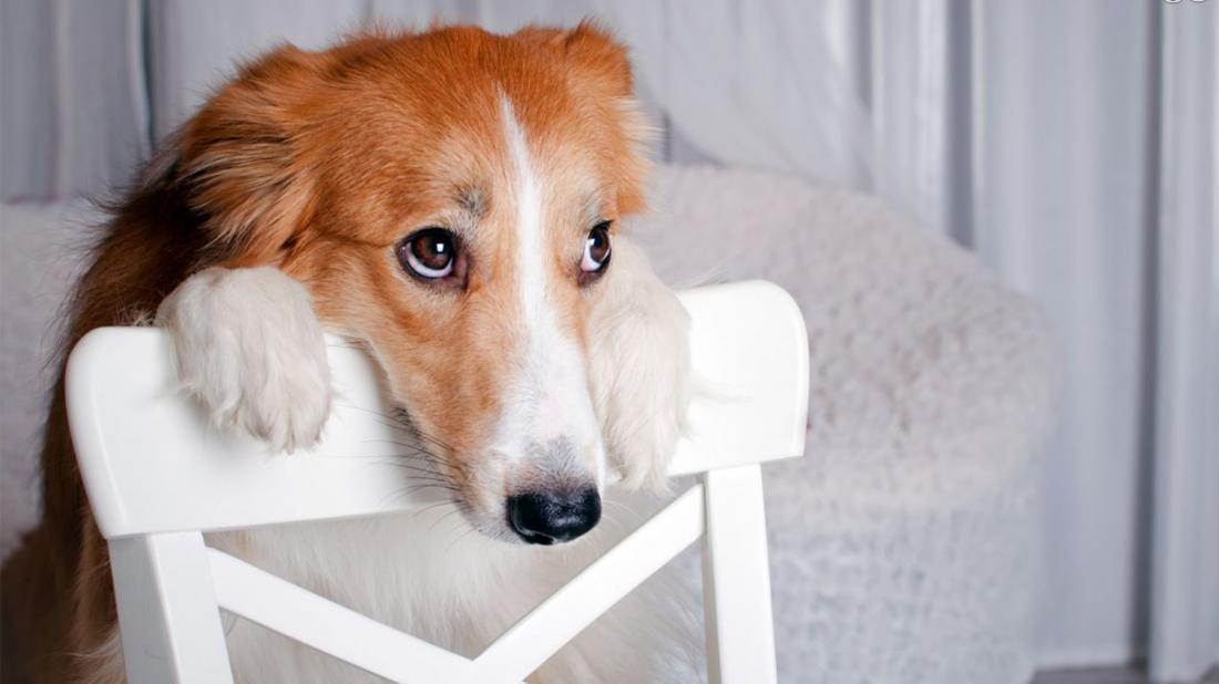 Собака выпрашивает сыр
