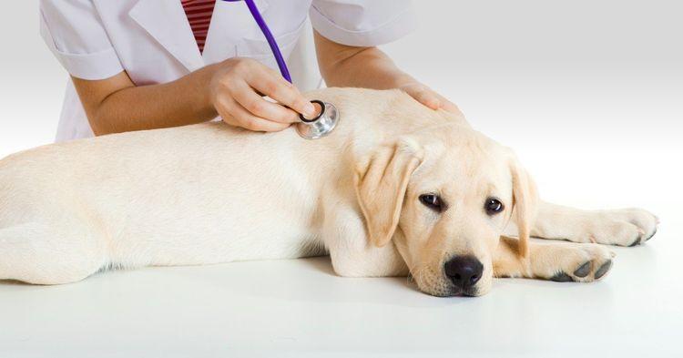 Стерилизовать собаку во время течки