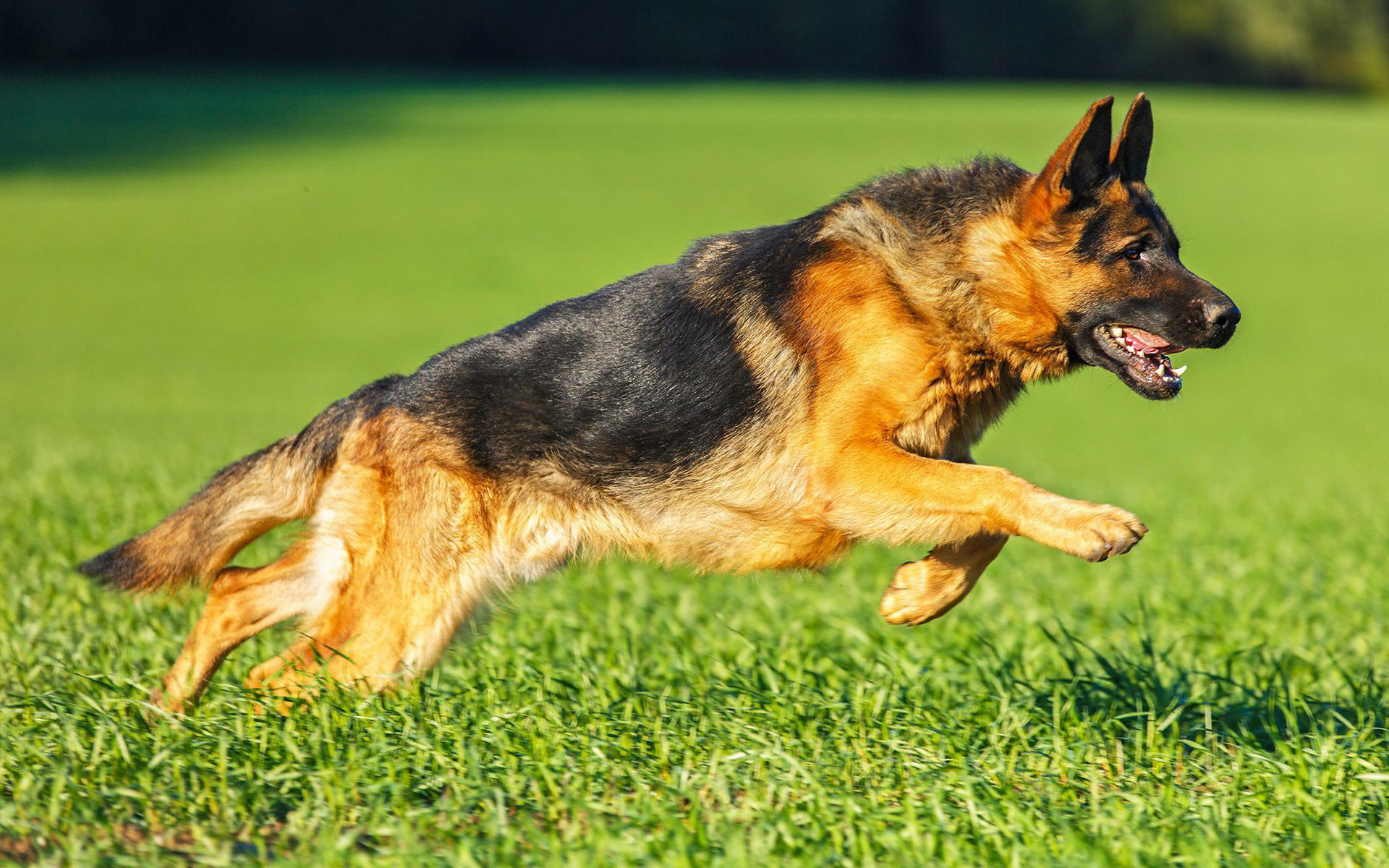 Служебная собака и стирилизация