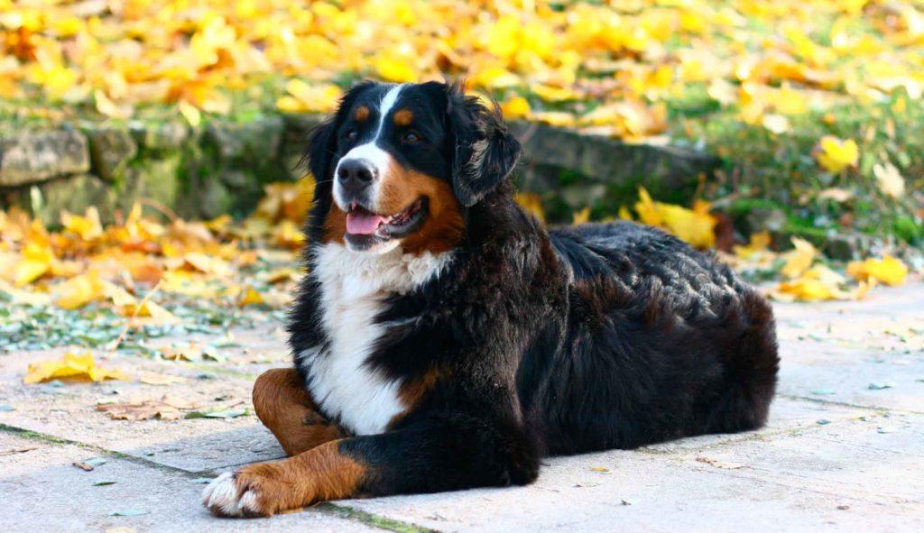 Бернский зенненхунд порода собак