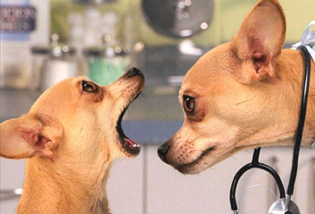 две собаки породы чихуахуа