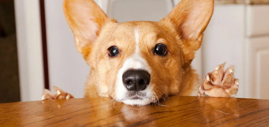 собака просит еду со стола орехи