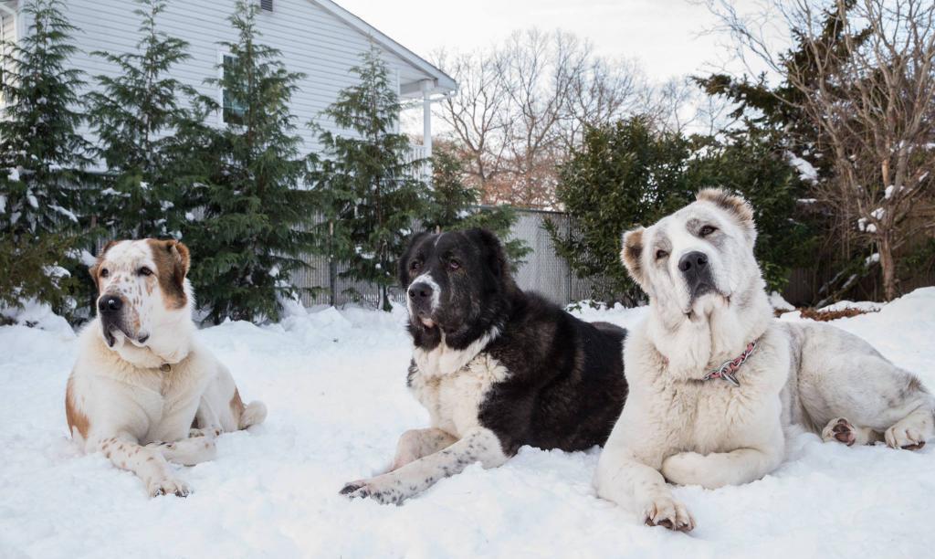 Три алабая зимой