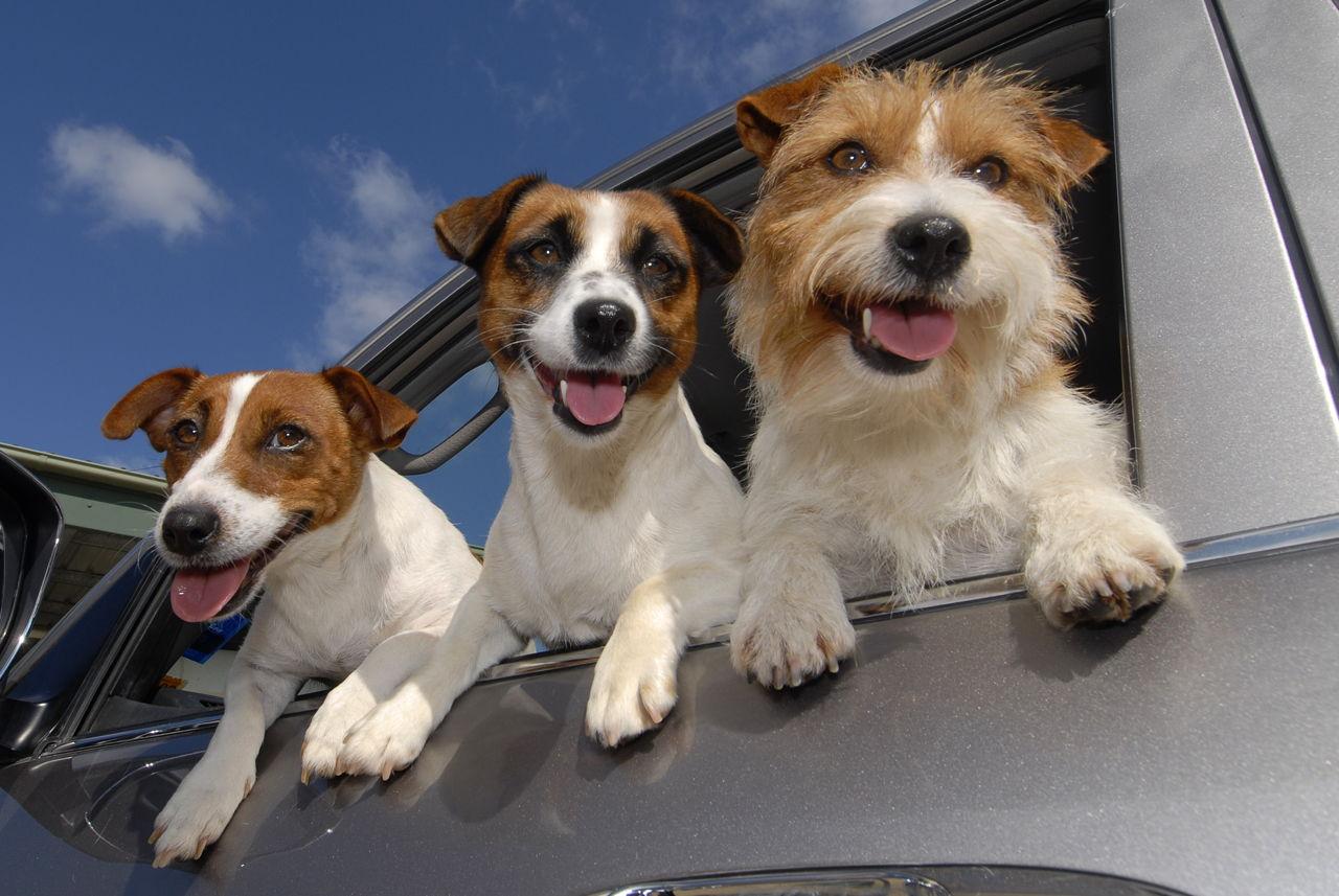джек-рассел-терьер три собаки
