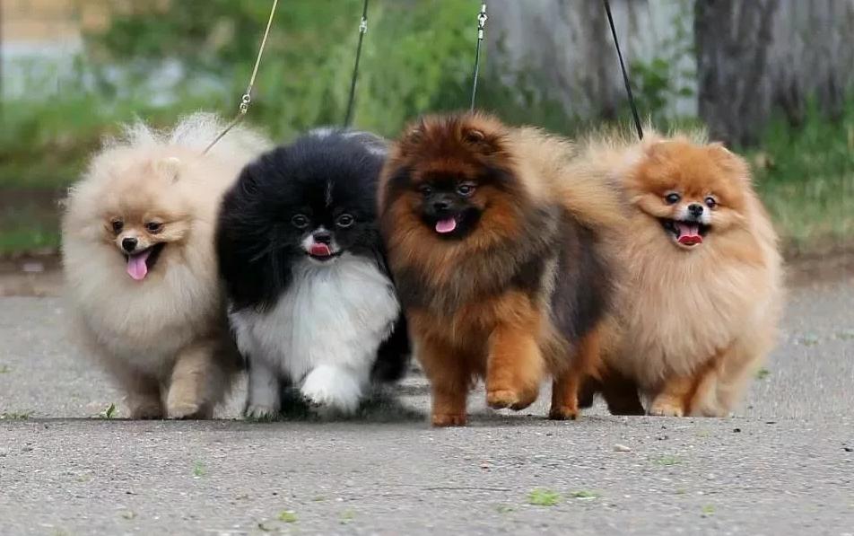 собаки породы шпиц померанский