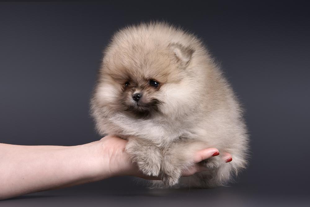 щенок померанского шпица на руке