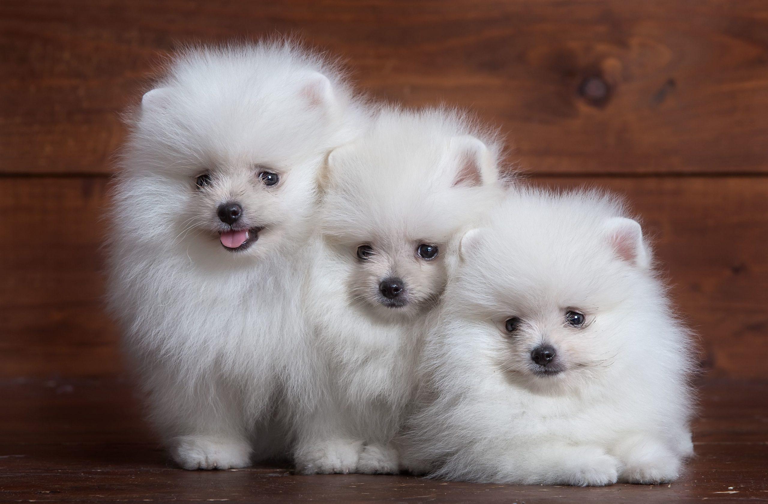 три маленьких щенка породы померанский шпиц
