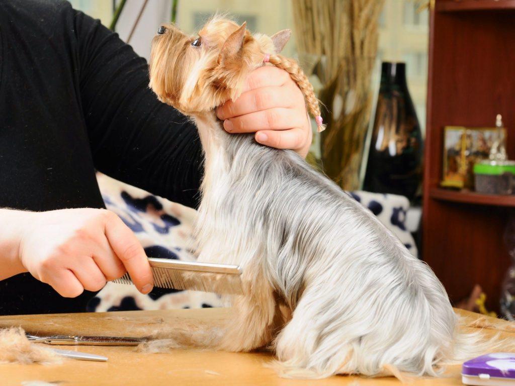 собаке йоркширскому терьеру делают прическу