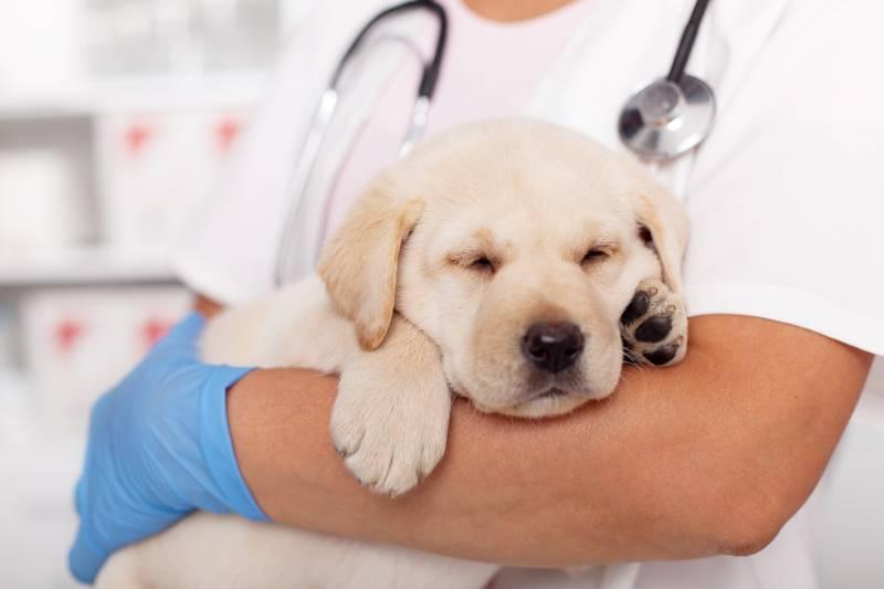 щенок на руках у ветеринара