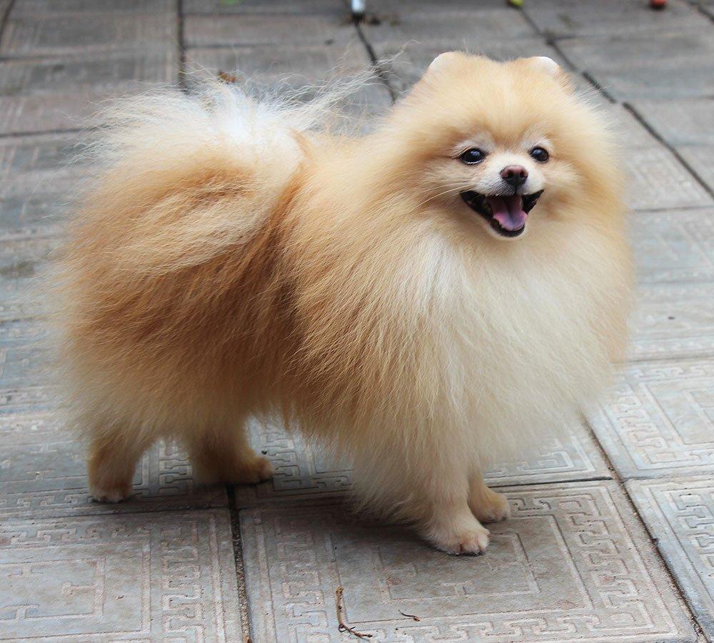 померанский шпиц собака