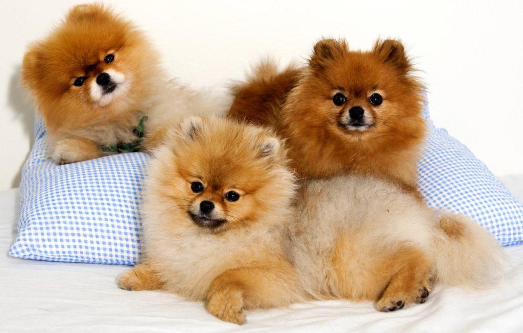 три собаки померанского шпица