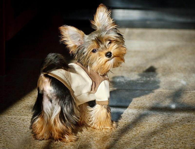 маленькая собачка йорк